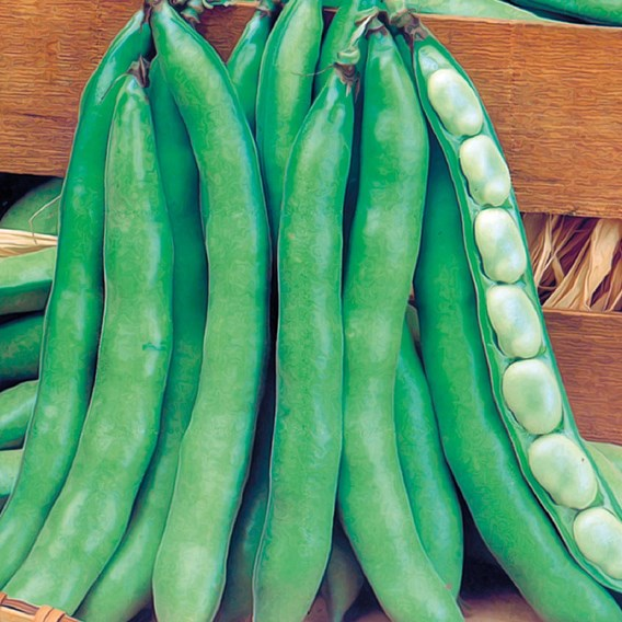 Broad Bean Super Aguadulce