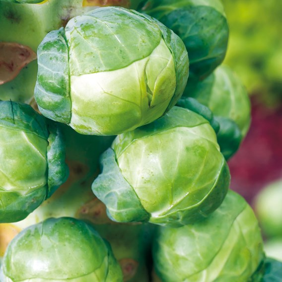 Brussel Sprouts Igor F1