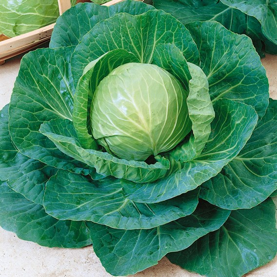 Cabbage - Green Express