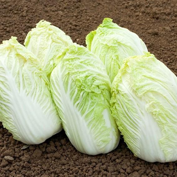 Cabbage Chinese Atsuko