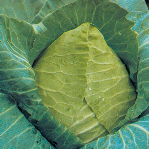 Cabbage Cour Di Bue Grosso