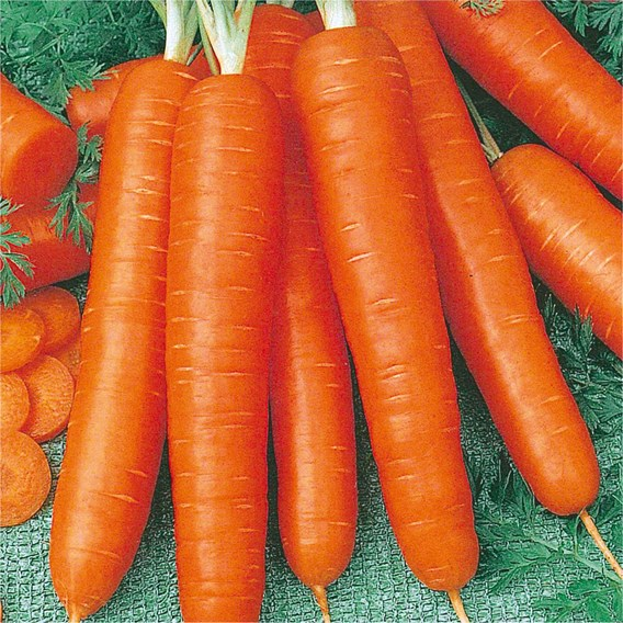 Carrot Bambino