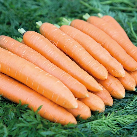 Carrot Dolciva