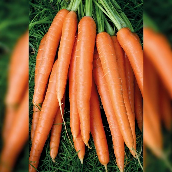 Carrot Nantes 2