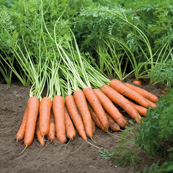 Carrot Napoli F1