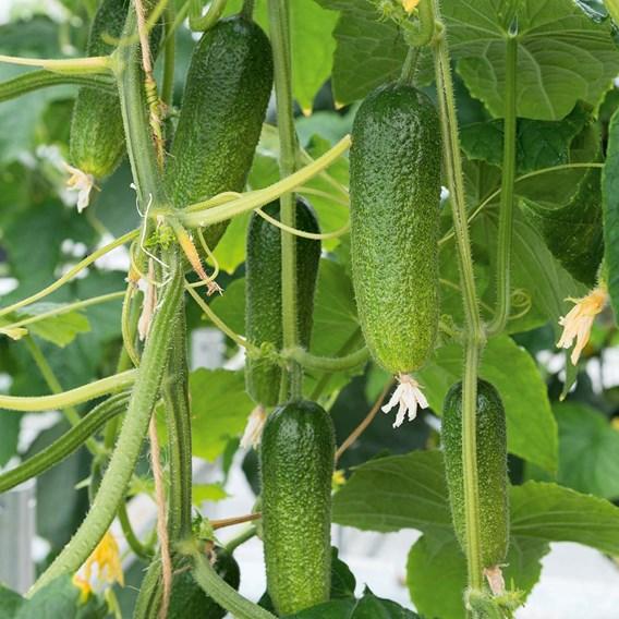Cucumber Cornichon Adam F1