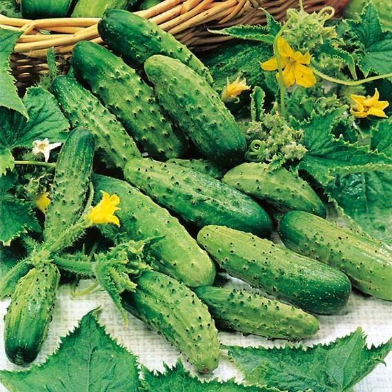 Cucumber Cornichon Vert Perit De Paris