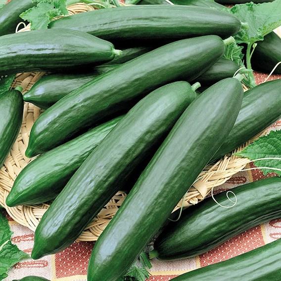 Cucumber Tendergreen Burpless