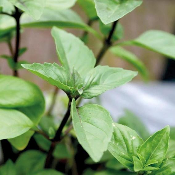 Herb - Basil Cinnamon
