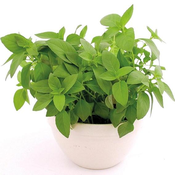 Herb - Basil Lemon