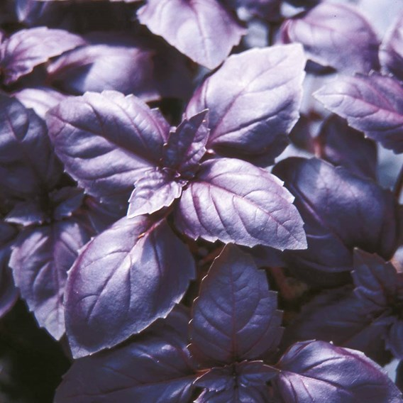 Herb - Basil Red Rubin