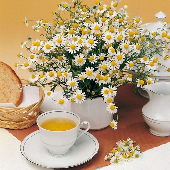 Herb - Chamomile Matricaria
