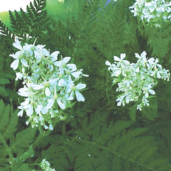 Herb - Sweet Cicely