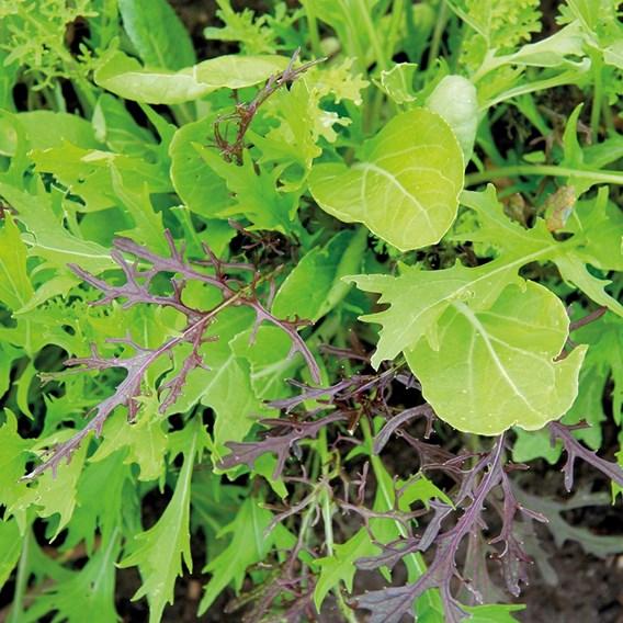 Leaf Salad Asian Leaves 2.5G