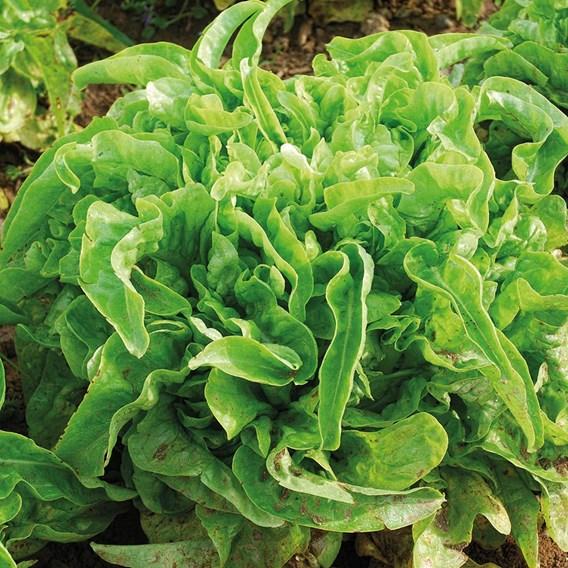 Leaf Salad Till