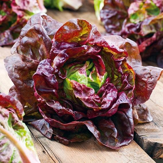 Lettuce Marvel Of Four Seasons
