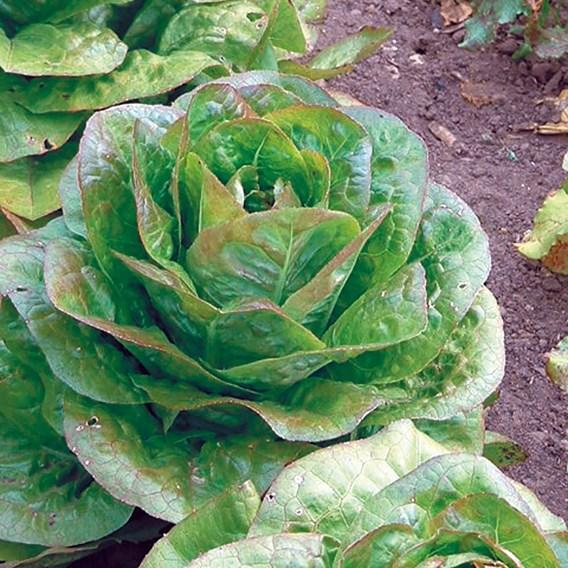 Lettuce Rouge D'hiver