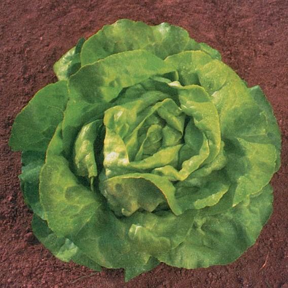 Lettuce Sylvesta