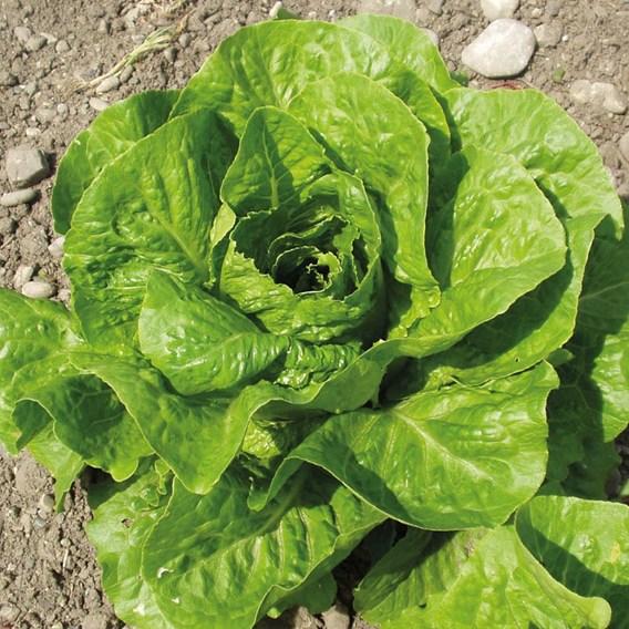 Lettuce Valmaine