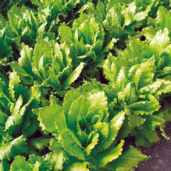 Lettuce Veneziana