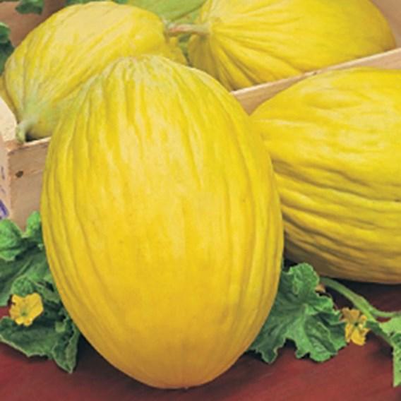 Melon Rugoso Di Consenza giallo