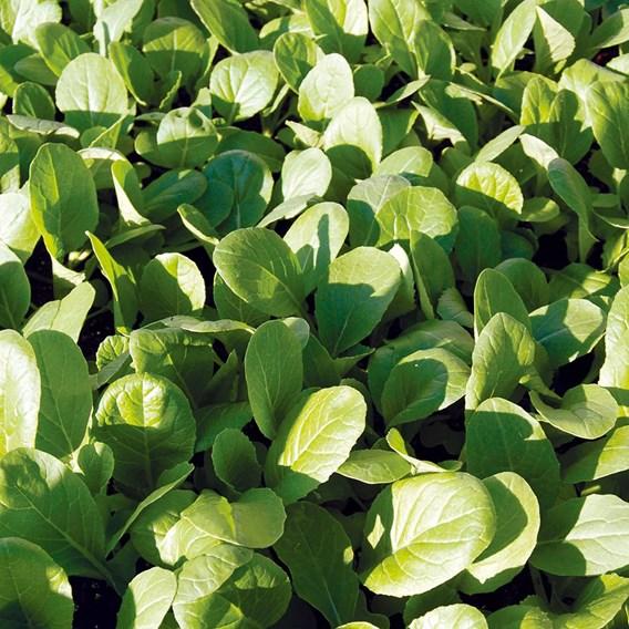 Mustard Spinach Komatsuna