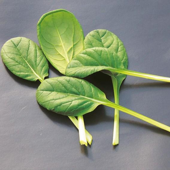 Rosette Pak Choi Tatsoi Organic