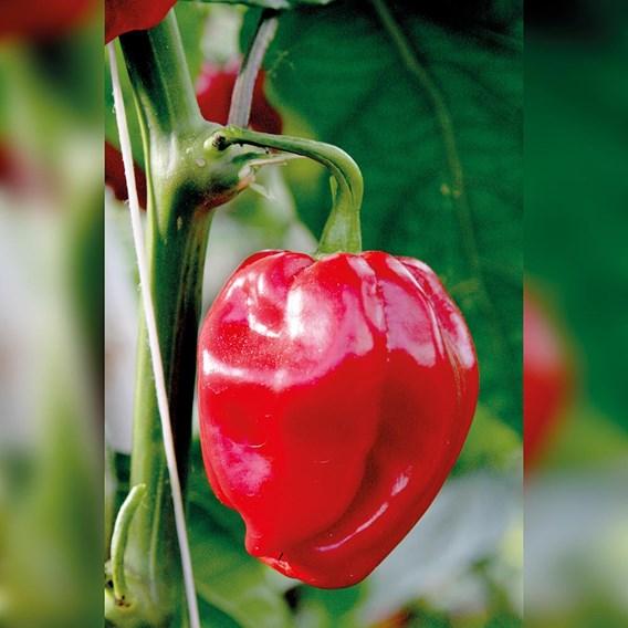Pepper Hot - Habanero