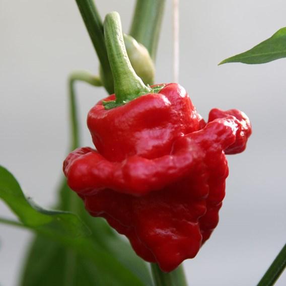 Pepper Hot - Scotch Bonnet Red