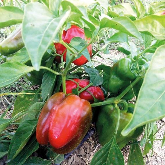 Pepper Sweet -Quadrato D'Asti Rosso