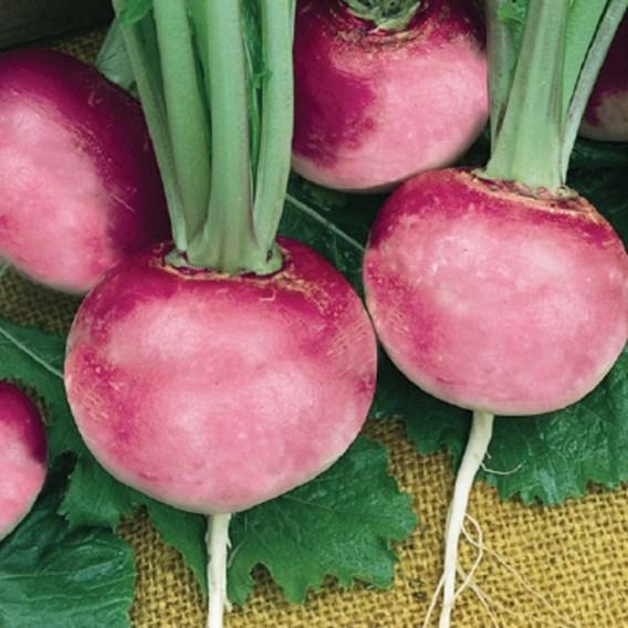 Radish Pink Beauty