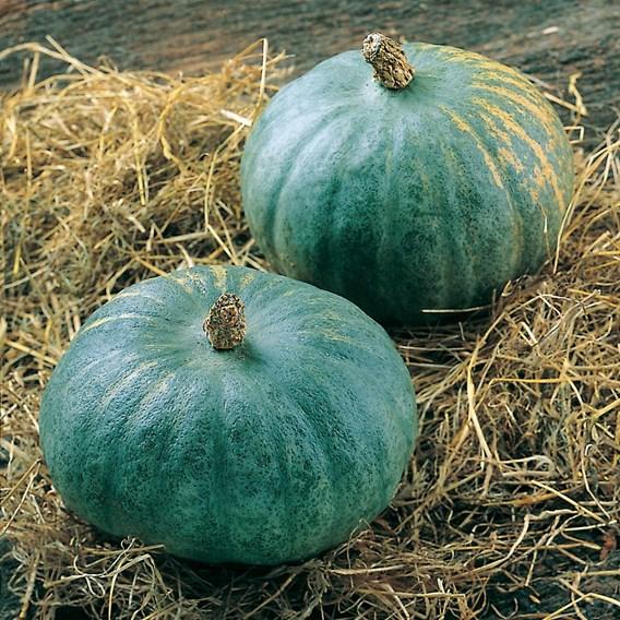 Squash & Pumpkin Blue Kuri
