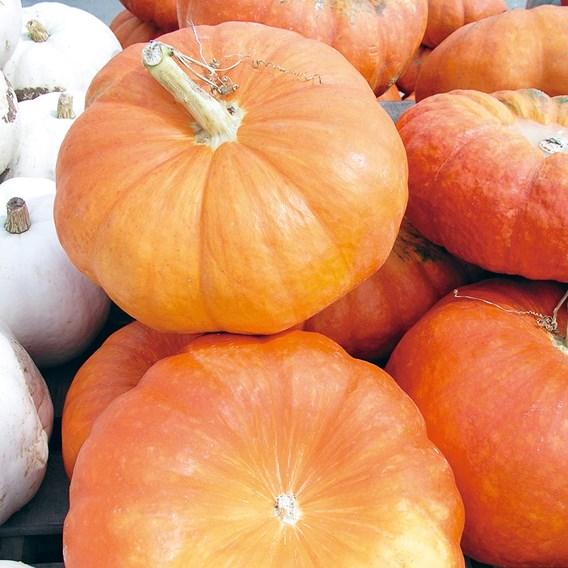 Squash & Pumpkin Rouge Vif d'Etampes