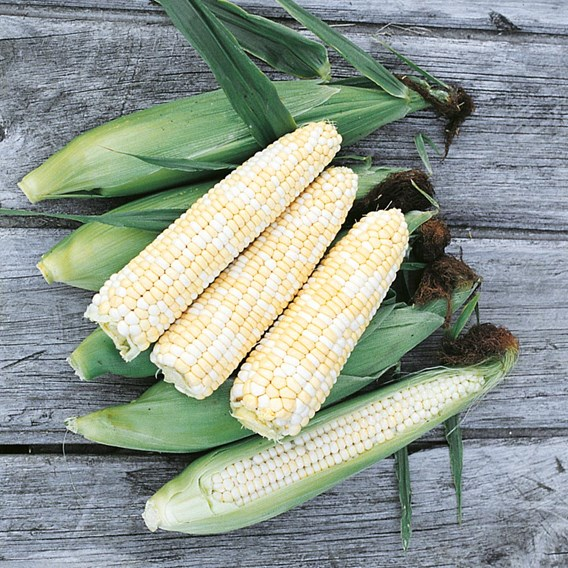 Sweet Corn Double Standard