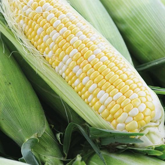 Sweet Corn Luscious F1