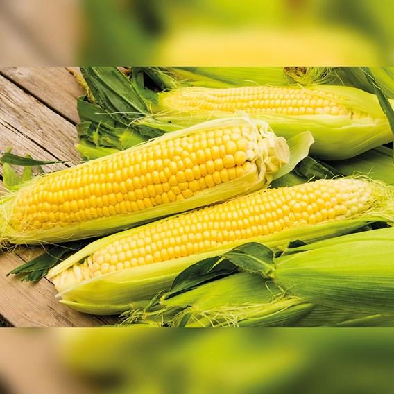 Sweet Corn Medzi