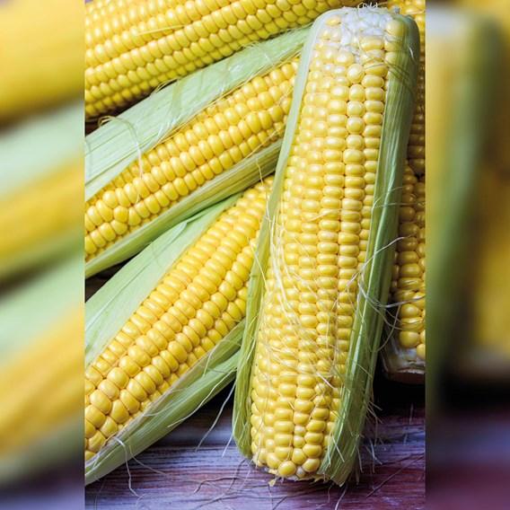 Sweet Corn Sativa Late - Tramunt