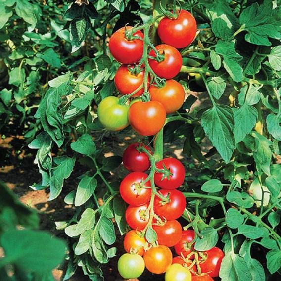 Tomato Diplom F1
