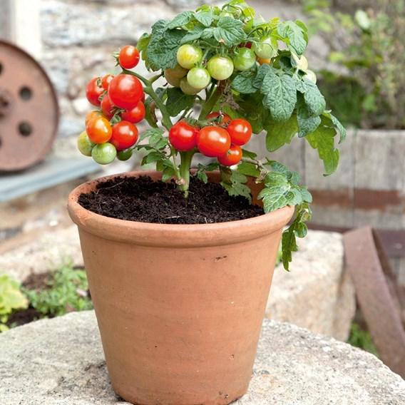 Tomato Red Robin