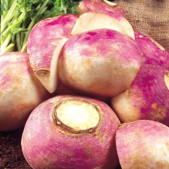 Turnip Purple Top Milan Organic