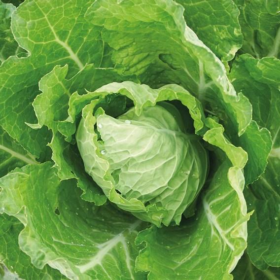 Cabbage Bloemendaalse Gele