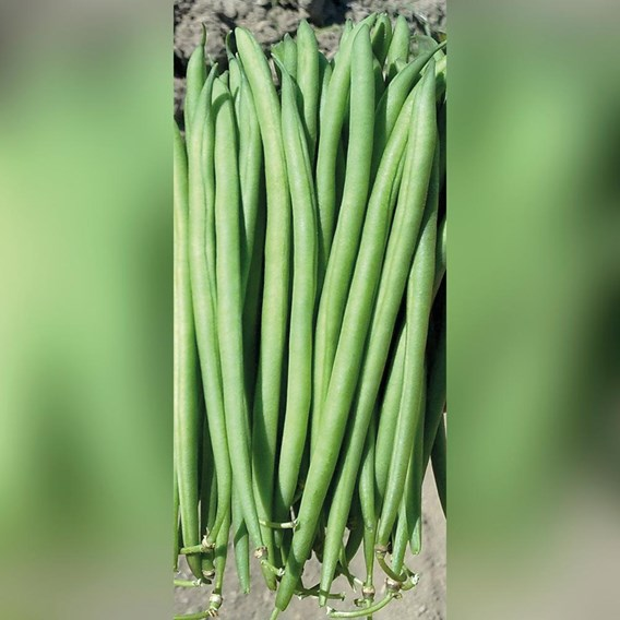 Dwarf French Bean Faraday