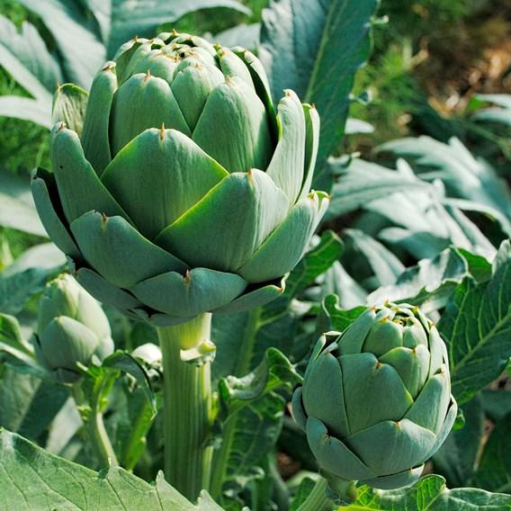 Artichoke Seeds - Imperial Star