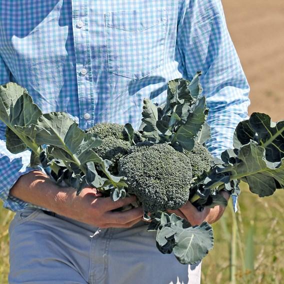 Broccoli Seeds - Covina F1