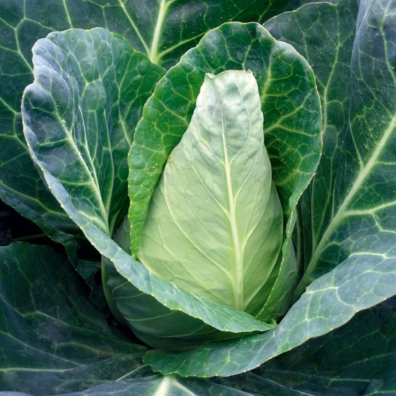 Cabbage Seeds - Caraflex F1
