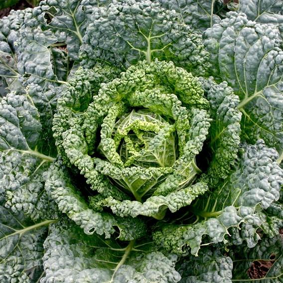 Cabbage Seeds - Westland Wells