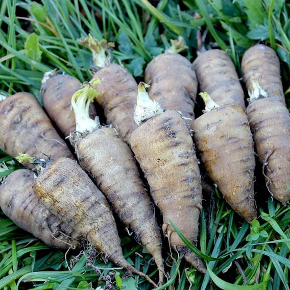 Root Chervil Seeds