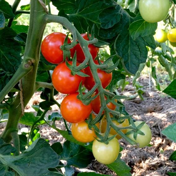 Tomato Seeds - Primabella