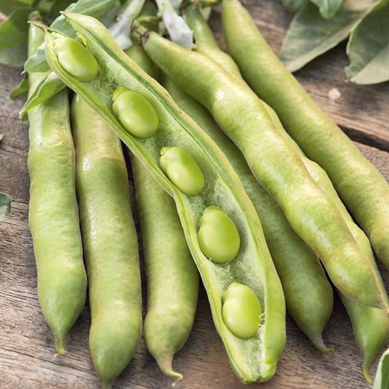 Broad Bean Seeds - Eleonora