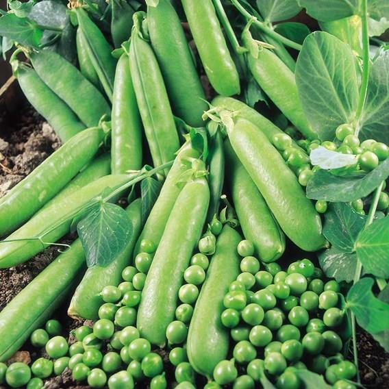 Pea Seeds - Rapid